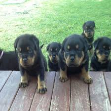 how often u0026 how much to feed meisterhunde rottweilers high