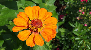 free photo zinnia flower garden the plot free image on