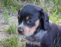 bluetick coonhound beagle index