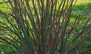 ornamental grass update the obsessive neurotic gardener
