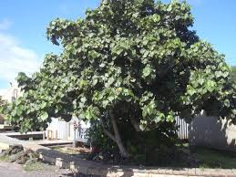 australian native plants perth coastal trees tree nursery western australia mature trees