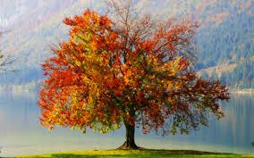 fall tree hd wallpaper 1662795