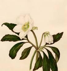 helleborus niger by caroline applebee at royal horticultural