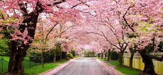 National Cherry Blossom Festival by Cherry Blossom Festival Visit Montgomery County Md