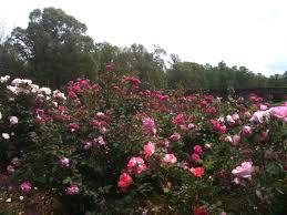 spacing when planting roses u2013 paul zimmerman roses