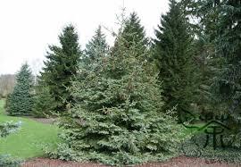 plant picea asperata seeds 500pcs spruce evergreen