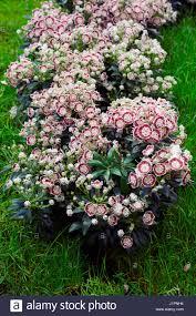 kalmia latifolia kalmia latifolia u0027minuet u0027 stock photo royalty free image