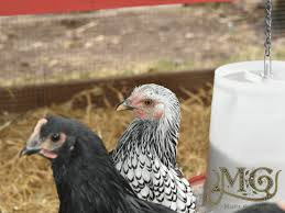 best backyard chicken best backyard chicken breeds for suburban homesteads misfit