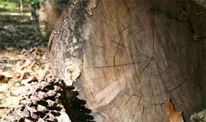 heartwood pine floors