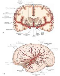 Nervous System Human Anatomy Blood Supply Of The Central Nervous System Gross Anatomy Of The