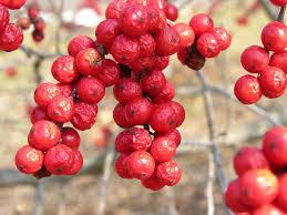 native american food plants ilex verticillata wikipedia