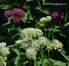 native plants of pa 7 plantastic companion plants for milkweed in the garden