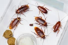 What Do Bed Bugs Eat What Do Cockroaches Eat And Where Do They Live When There Are No