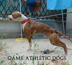 american pitbull terrier apbt pit bull bans rants u0026 raves the phoenixed forums