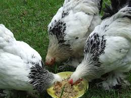 Backyard Chicken Breeds by Chicken Breeds Available In New Zealand With Bantam Backyard