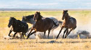 black mustang horse wild horses fighting onaqui herd photography of wild horses