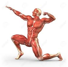 Human Anatomy Full Body Picture Human Anatomy Human Muscle Anatomy For Body Building Anatomy