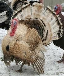 porter s heritage turkeys pencilled palm