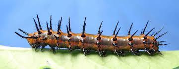 gulf fritillary agraulis vanillae life cycle study
