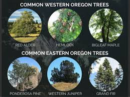 tree identification guide for oregonians
