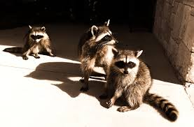 How To Get Rid Of Raccoons In Backyard Baylisascariasis The Tragic Parasitic Implications Of Raccoons In
