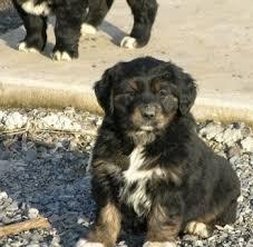 australian shepherd x golden retriever australian retriever dog breed information