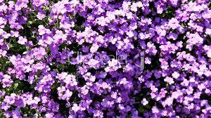 blumen lila purple flowers lila blumen royalty free video and stock footage