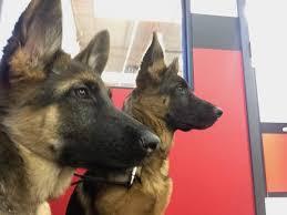 belgian shepherd dog club of canada canadian canine training academy