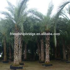 buy cheap china palm tree products find china