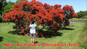 auckland travel guide new zealand u0027s christmas tree the