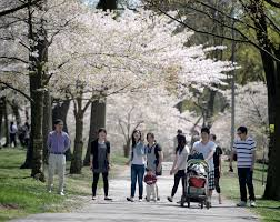 Cherry Blossom Tree Facts by Toronto U0027s Cherry Blossom Obsession Explained Canada Com