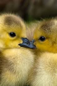 240 best ducks images on pinterest ducks adorable animals and