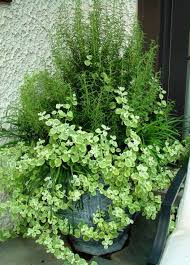 Fragrant Container Plants - plant lemongrass and rosemary in pots containers or in flower