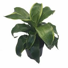 dorado tree pleomele dracaena 6 pot easy to grow house
