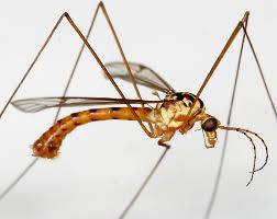 crane fly morphology