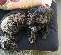affenpinscher ottawa pit bull in fatal mauling of dog in condo put down toronto u0026 gta