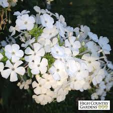 phlox flower phlox paniculata david white garden phlox high country