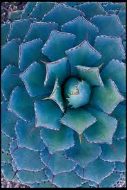 native plants for pots 16 gorgeous agave plants sunset