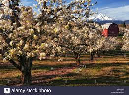 Beautifulapril Beautiful April Morning In Hood River Valley With Peak Bloom Of
