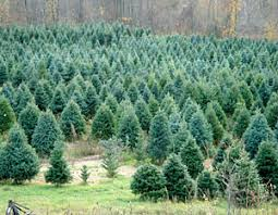 home of the beckwith choose and cut christmas trees wreaths and