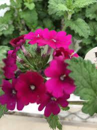 annuals u2013 larson u0027s garden center