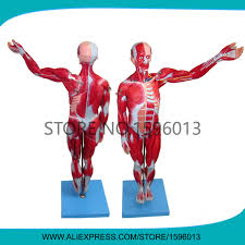 Human Anatomy Full Body Picture Online Buy Wholesale Anatomical Muscle Models From China
