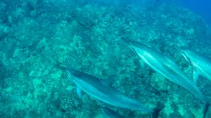 Rhode Island wild swimming images Swim with dolphins off hawaii 39 s big island along the kona coast jpg