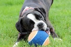 bulldog y boxer fotos gratis en blanco y negro jugar perrito animal mascota