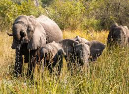 family of elephants feeding and as they move through ok
