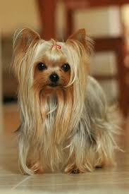 haircuts for yorkie dogs females flickr yorkshire terrier pinterest yorkies yorkshire terrier