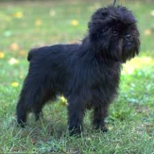 affenpinscher terrier mix toy group american kennel club