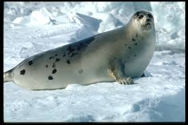 what size l harp do i need harp seal arctic ocean biodiversity