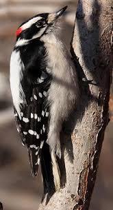 Backyard Wild Birds by Downy Woodpecker 3 Pl Jpg 238 440 Backyard Wild Birds