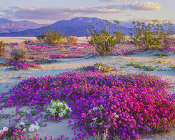 anza borrego super bloom this desert in the southwest is experiencing a wildflower